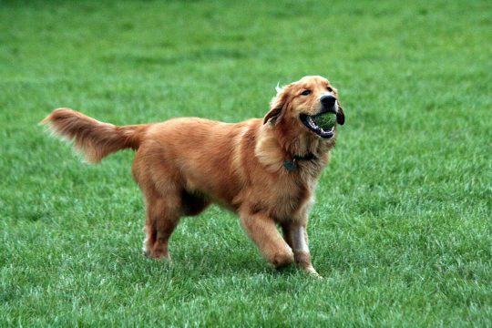 1200px-Golden_Retriever_with_tennis_ball.jpg